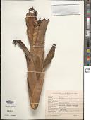 view Aechmea nudicaulis var. cuspidata Baker digital asset number 1