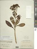 view Dubautia laxa subsp. hirsuta (Hillebr.) G.D. Carr digital asset number 1