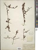 view Erythroxylum microphyllum A. St.-Hil. digital asset number 1