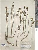 view Rhynchosia insignis (O. Hoffm.) R.E. Fr. digital asset number 1