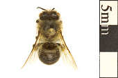 view Polyester Bee, Cellophane Bee, Plasterer Bee digital asset number 1
