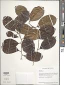 view Chrysophyllum sp. digital asset number 1