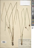 view Schoenoplectus mucronatus (L.) Palla digital asset number 1