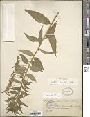 view Lobelia laxiflora subsp. laxiflora Kunth digital asset number 1