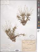 view Syngonanthus caulescens (Poir.) Ruhland digital asset number 1
