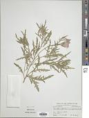 view Oenothera speciosa Nutt. digital asset number 1
