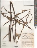 view Tillandsia paniculata (L.) L. digital asset number 1