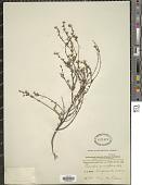 view Pimelea curviflora Aiton digital asset number 1