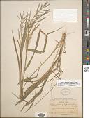 view Dinebra panicea subsp. brachiata (Steud.) P.M. Peterson & N. Snow digital asset number 1