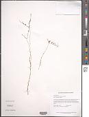 view Gymnosiphon guianensis Gleason digital asset number 1