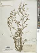 view Crotalaria pumila Ortega digital asset number 1