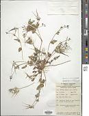 view Erodium botyrs (Cav.) Bertol. digital asset number 1