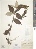 view Sabicea mollissima Benth. ex Wernham digital asset number 1