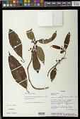 view Besleria angustiflora Fritsch digital asset number 1