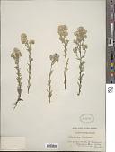 view Phacelia linearis (Pursh) Holz. digital asset number 1
