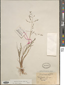 view Eragrostis pastoensis (Kunth) Trin. digital asset number 1