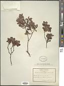 view Vaccinium uliginosum L. digital asset number 1