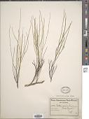 view Schlechteria capensis Bolus ex Schltr. digital asset number 1