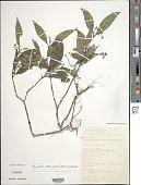 view Palicourea tenerior (Cham.) Delprete & J.H. Kirkbr. digital asset number 1