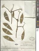 view Daphnopsis macrophylla (Kunth) Gilg digital asset number 1