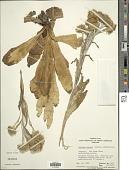 view Podolepis robusta (Maiden & Betche) J.H. Willis digital asset number 1