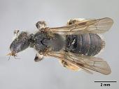 view Andrena (Gymnandrena) seviensis digital asset number 1