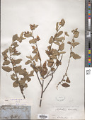 view Melochia tomentosa L. digital asset number 1