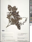 view Pterocarpus officinalis Jacq. digital asset number 1