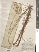 view Pseudopogonatherum trispicatum (Schult.) Ohwi digital asset number 1