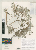 view Astragalus chuskanus Barneby & Spellenb. digital asset number 1