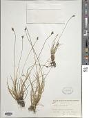 view Carex glareosa Schkur ex Wahlenb. digital asset number 1