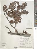 view Chamaecrista bahiae (H.S. Irwin) H.S. Irwin & Barneby digital asset number 1