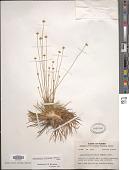 view Syngonanthus flavidulus (Michx.) Ruhland digital asset number 1