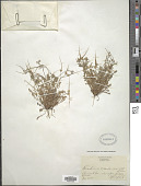 view Erodium cicutarium (L.) L'Hér. digital asset number 1
