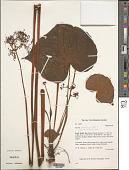 view Begonia saxifraga digital asset number 1