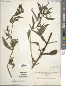 view Eclipta alba (L.) Hassk. digital asset number 1