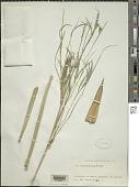 view Drepanostachyum falconeri (Hook. f. ex Munro) Soderstr. digital asset number 1