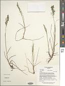 view Poa pratensis subsp. alpigena (Lindm.) Hiitonen digital asset number 1