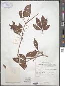 view Tetrastigma nilagiricum (Mig.) B.V. Shetty digital asset number 1