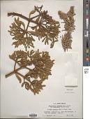 view Phoradendron bolleanum var. pauciflorum (Torr.) Fosberg digital asset number 1
