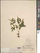 view Begonia semiovata Liebm. digital asset number 1
