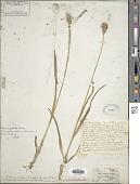 view Carex gravida L.H. Bailey digital asset number 1