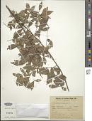 view Trichilia elegans A. Juss. digital asset number 1