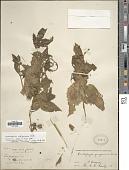 view Siphocampylus orbignianus A. DC. digital asset number 1