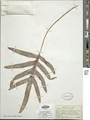 view Phlebodium pseudoaureum (Cav.) Lellinger digital asset number 1