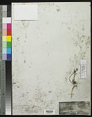 view Linum africanum L. digital asset number 1