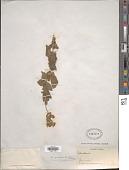view Calceolaria andina Benth. digital asset number 1