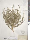 view Oligomeris linifolia (Vahl) J.F. Macbr. digital asset number 1