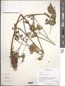 view Aruncus dioicus (Walter) Fernald digital asset number 1