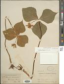 view Trillium flexipes digital asset number 1